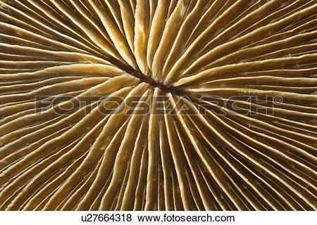 Pictures of Mushroom Coral (Fungia concinna) Dumaguete, Negros.