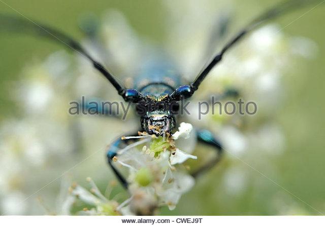 Golden Green Beetle Stock Photos & Golden Green Beetle Stock.