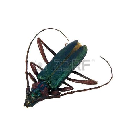Longhorn Beetle Stock Photos Images. Royalty Free Longhorn Beetle.