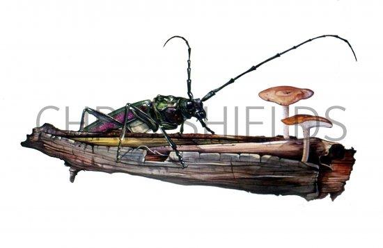 Musk Beetle (Aromia moschata) IN001, Illustration.