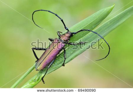 """eyed Longhorn Beetle"" Stock Photos, Royalty."