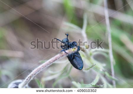 Red Longhorn Beetle Stock Photos, Royalty.