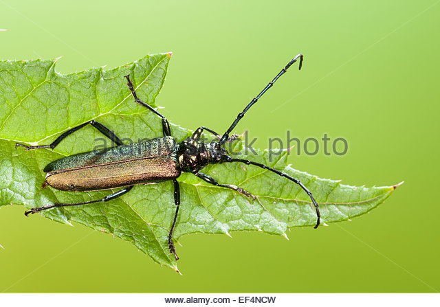 Moschus Stock Photos & Moschus Stock Images.