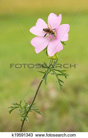 Stock Photo of Honey bee on musk Mallow k19591343.