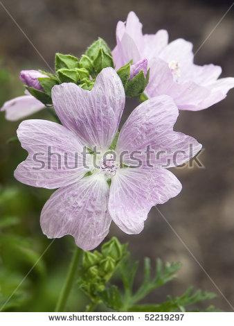 Musk Mallow Flower, Malva Moschata Rosaea Stock Photo 52219297.