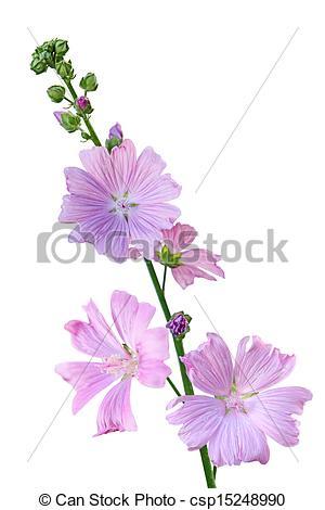 Stock Photographs of Musk Mallow Malva moschata flower.