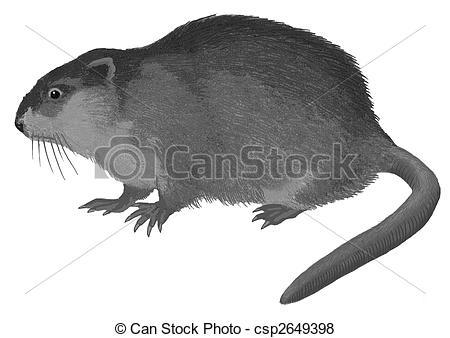 Muskrat Stock Illustrations. 449 Muskrat clip art images and.
