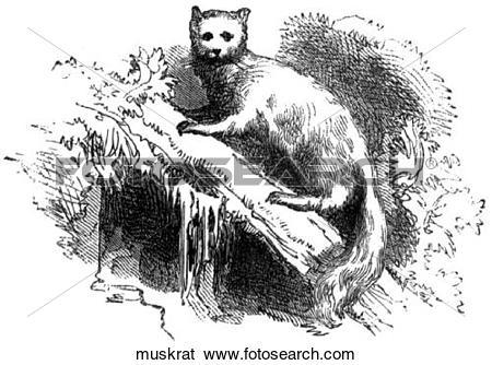 Stock Illustration of Mammals. A muskrat. muskrat.