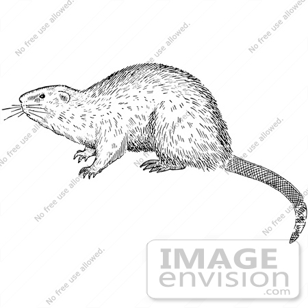 Clipart Of A Muskrat In Black And White.