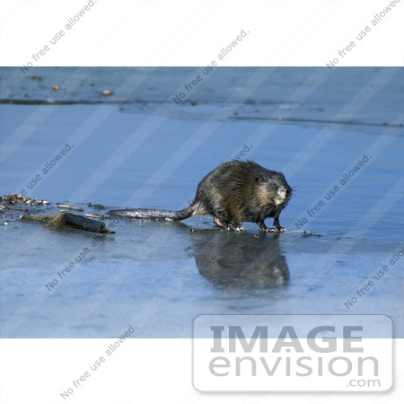 Picture of a Common Muskrat, Musquash, Swamp Bunny (Ondatra.