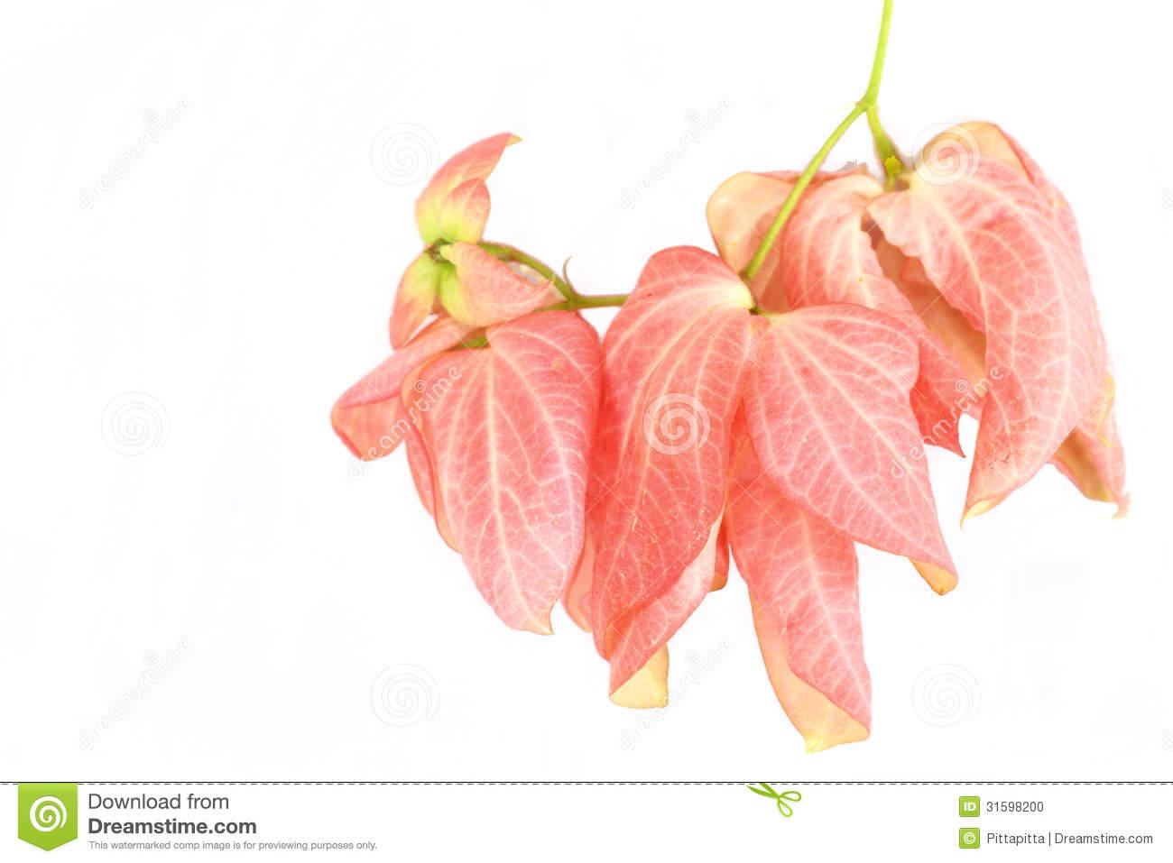 Mussaenda Flower Stock Photo.