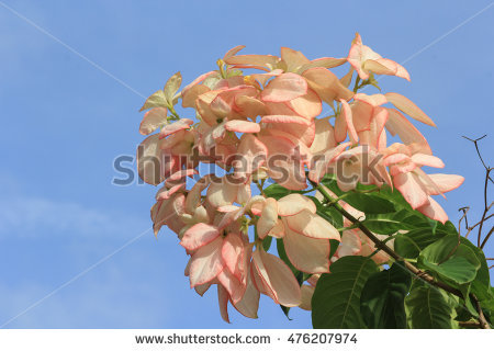 Mussaenda Philippica Stock Photos, Royalty.