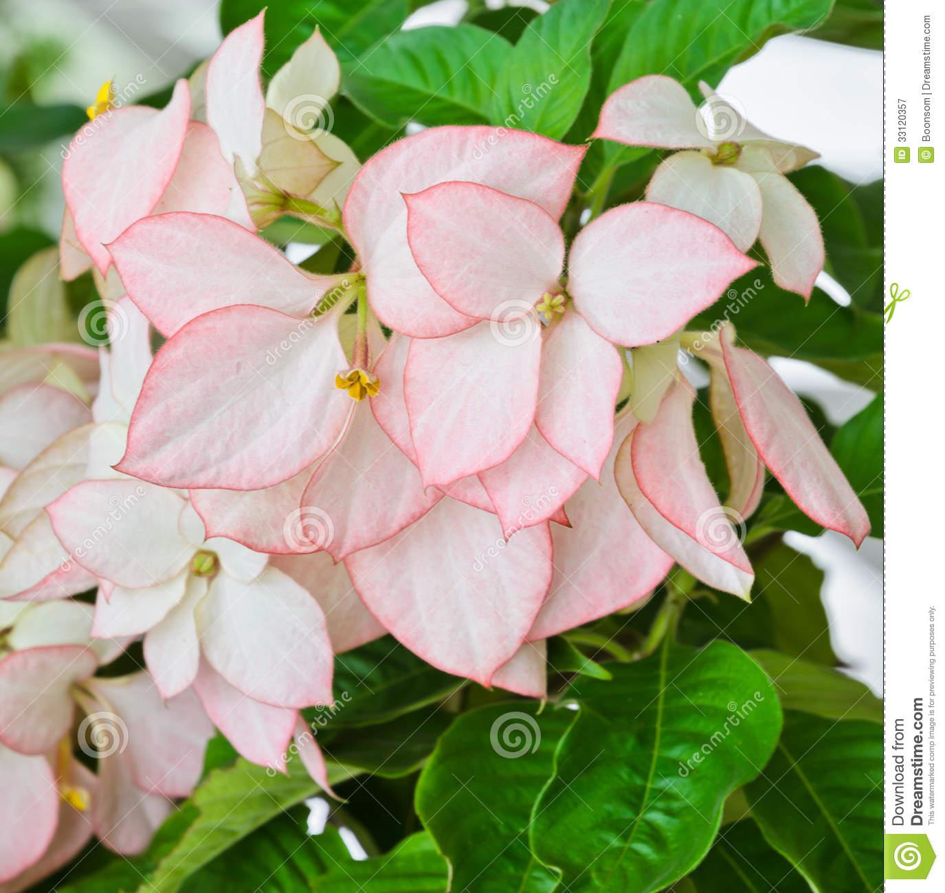 Mussaenda Flower Royalty Free Stock Photography.