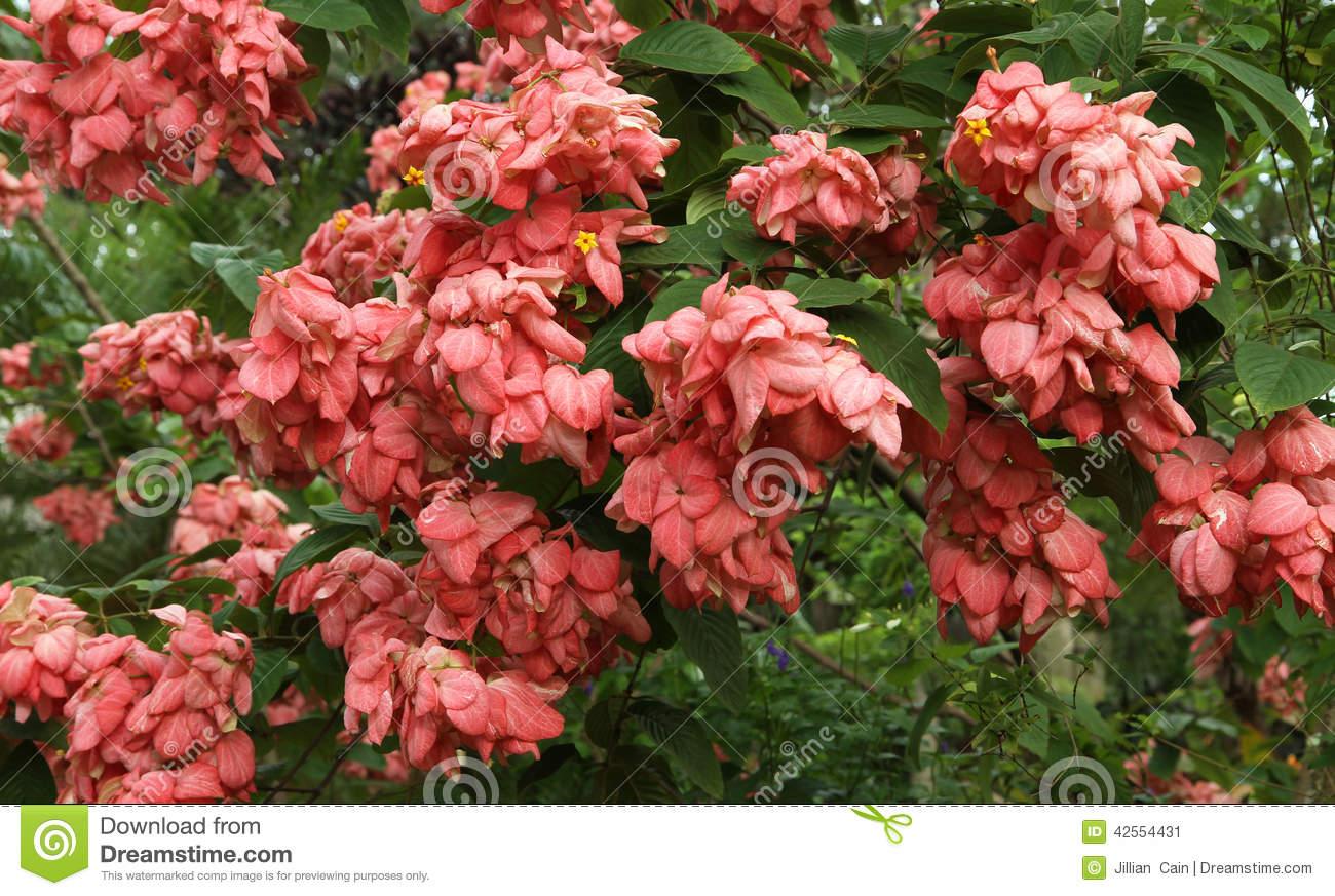 Pink Mussaenda Stock Photo.
