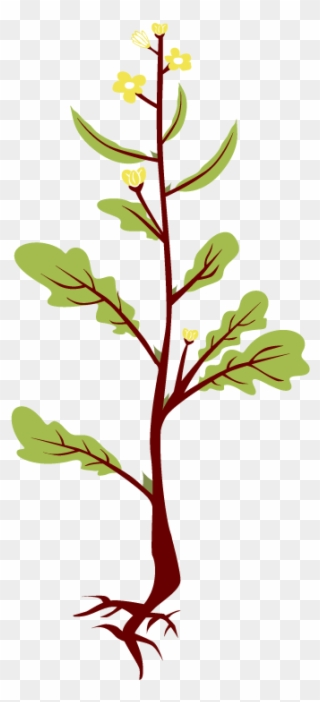 Roots Clipart Mustard Tree.