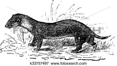 Clip Art of The European polecat or Mustela putorius, vintage.