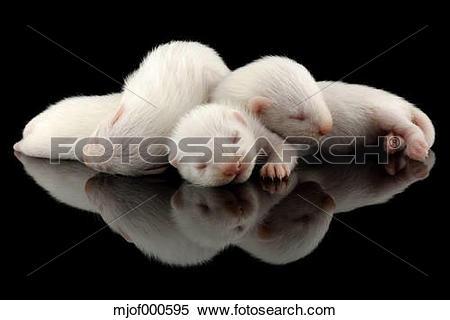 Stock Image of Ferrets, Mustela putorius furo, sleeping mjof000595.