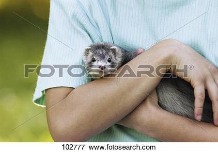 Picture of Domestic polecat on arm / Mustela putorius f.furo.