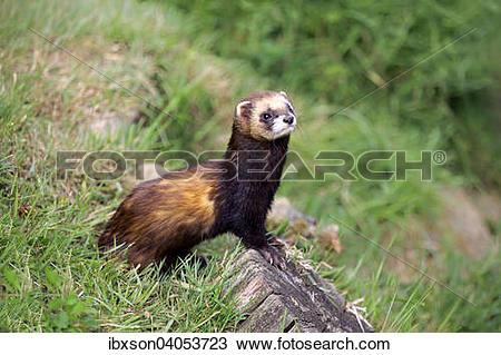 Stock Photo of Europaischer Iltis (Mustela putorius), adult.