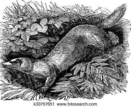Clipart of Ferret or Mustela putorius furo vintage engraving.