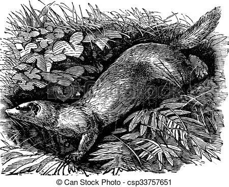 Clipart Vector of Ferret or Mustela putorius furo vintage.