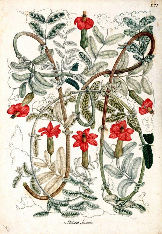 Mutisia clematis. Proyecto de digitalización de los dibujos de la.