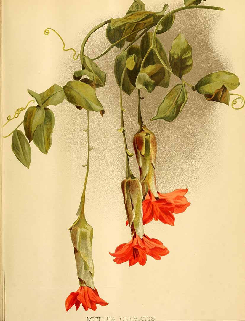 200468 Mutisia clematis Lf / El jardín. Un diario semanal.