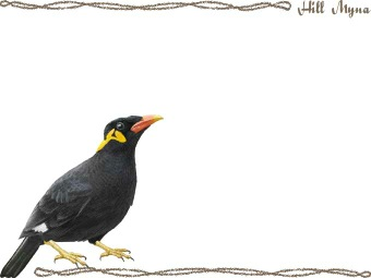 Hill Myna, Gracula clipart graphics (Free clip art.