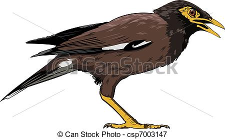 Common myna Illustrations and Clip Art. 9 Common myna royalty free.