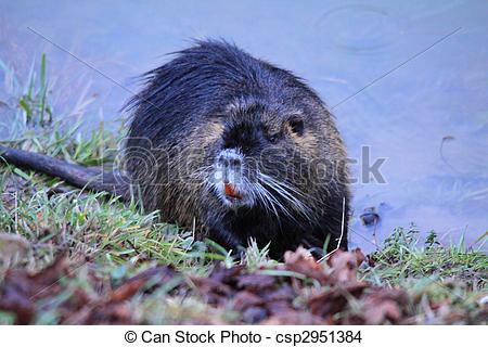 Stock Photo of Myocastor coypus.