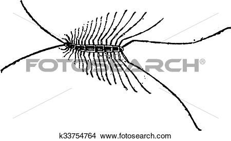 Clipart of Myriapod or Myriapoda, vintage engraving k33754764.