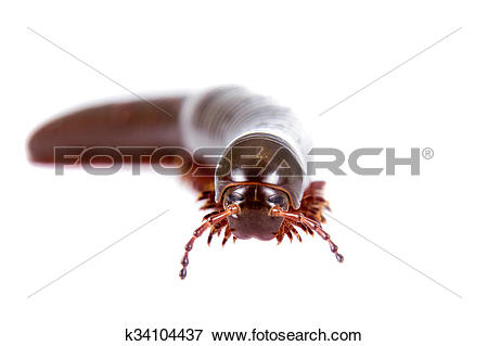 Picture of Millipede, Myriapoda on white k34104437.