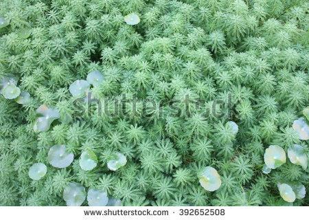 Myriophyllum Aquaticum Stock Photos, Images, & Pictures.