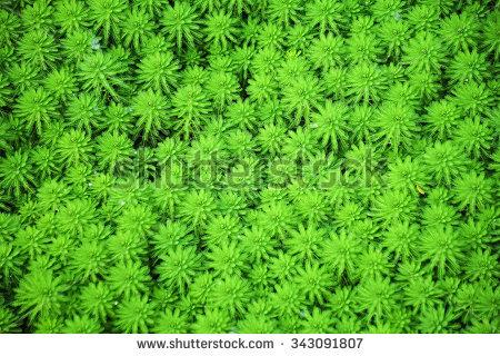 Myriophyllum Stock Photos, Images, & Pictures.