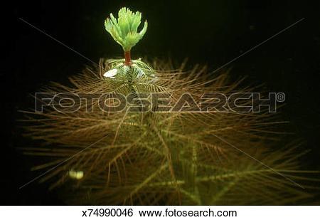 Stock Images of water milfoil myriophyllum sp. oxygenator in.