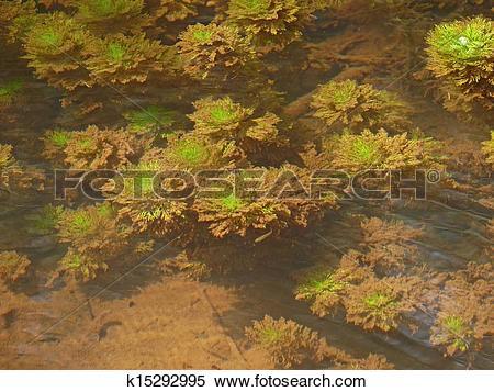 Stock Image of Myriophyllum aquaticum, Parrotfeather underwater.