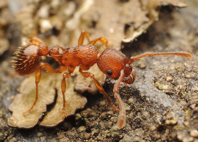 Myrmica scabrinodis.