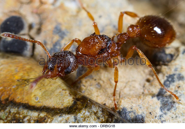 Ant Queen Ant Stock Photos & Ant Queen Ant Stock Images.