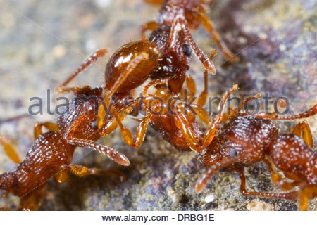 Ants Stock Photos & Ants Stock Images.