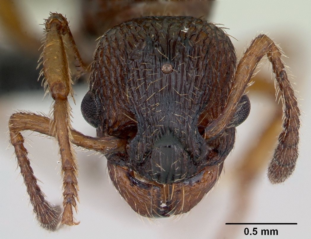 File:Myrmica scabrinodis casent0172744 head 1.jpg.
