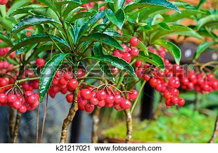Stock Photography of Ardisia Crenata ( Myrsinaceae ) k21217021.