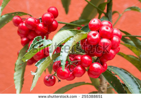 Coralberry Stock Photos, Images, & Pictures.