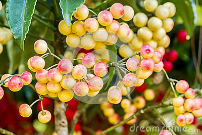 Ardisia Crenata Berries Stock Photo.