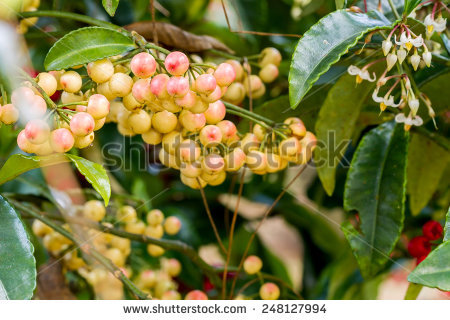 Ardisia Stock Photos, Royalty.