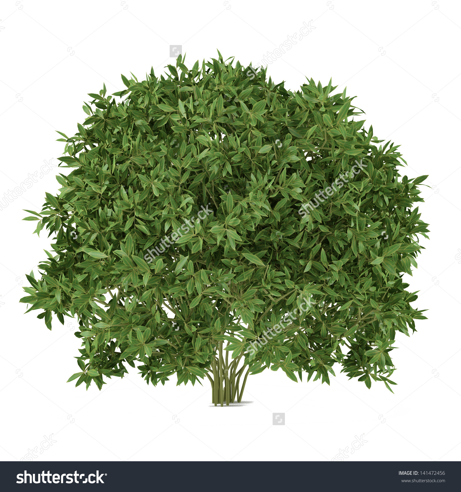 Plant Bush Isolated Cleyera Stockillustration 141472456.