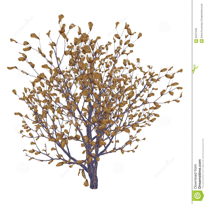 African Boxwood Tree, Myrsine Africana.