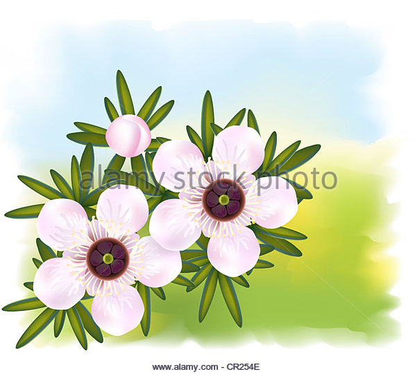 Leptospermum Flowers Stock Photos & Leptospermum Flowers Stock.