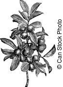 Myrtaceae Vector Clipart Illustrations. 20 Myrtaceae clip art.