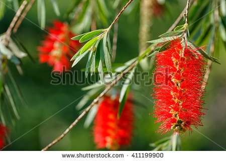 "family Myrtaceae"" Stock Photos, Royalty."