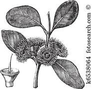 Myrtaceae Clip Art EPS Images. 20 myrtaceae clipart vector.